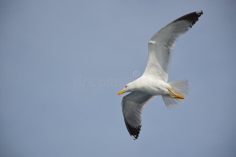 Птицы чайки летая в голубое небо стоковые изображения rf
