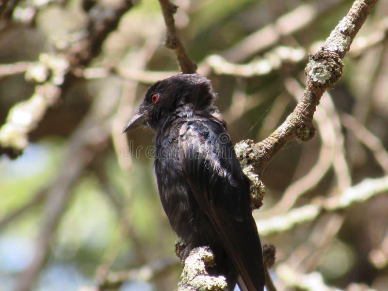 Птицы черноты Blick стоковое изображение
