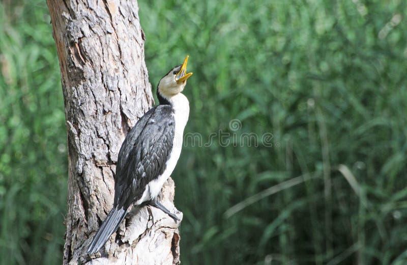 Птицы южной Австралии, линейного рая парка стоковая фотография