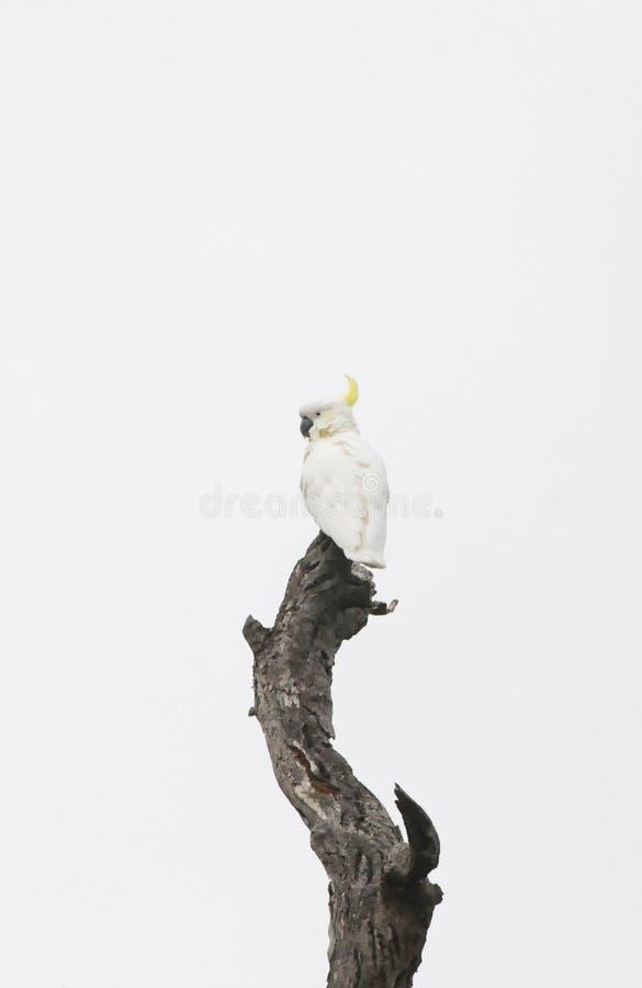 Птицы южной Австралии, линейного рая парка стоковые фотографии rf