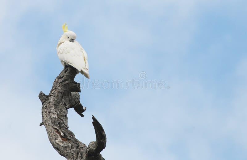 Птицы южной Австралии, линейного рая парка стоковое изображение rf