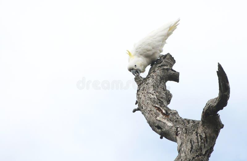 Птицы южной Австралии, линейного рая парка стоковое изображение