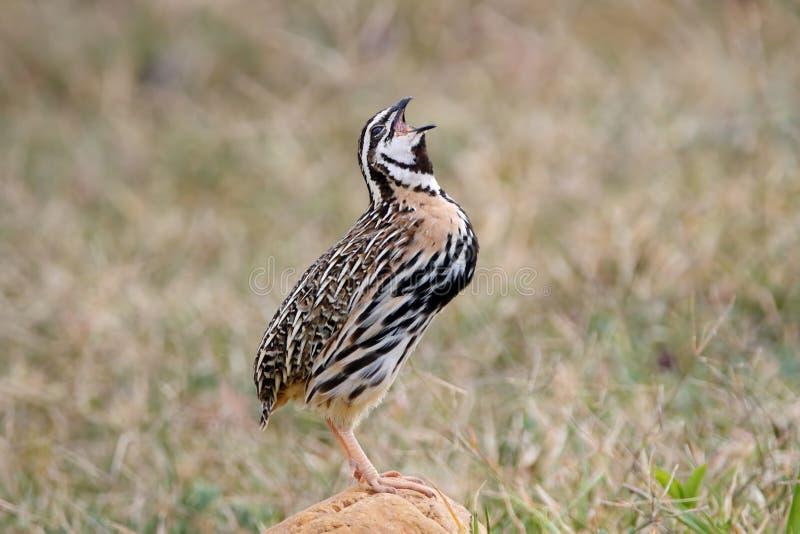 Птицы coromandelica Coturnix триперсток дождя мужской вызывать стоковая фотография rf