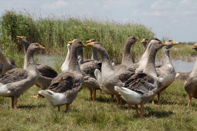 Птицы goose_2 стоковые фотографии rf