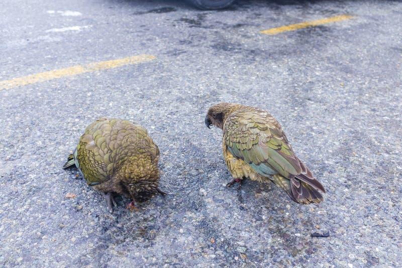 2 птицы Kea на дороге стоковые изображения rf