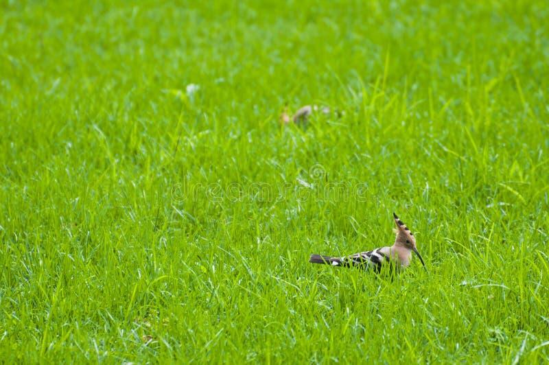 Птицы Upupa стоковое изображение