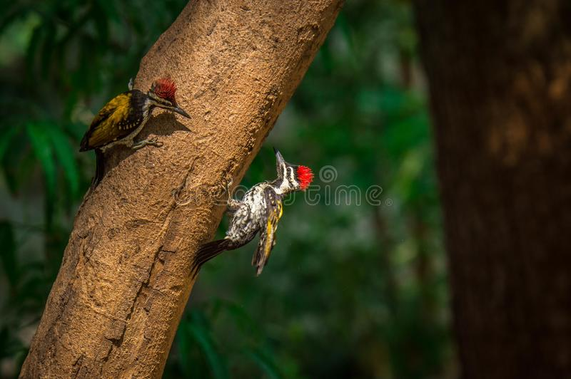 Птицы Woodpecker стоковое фото rf