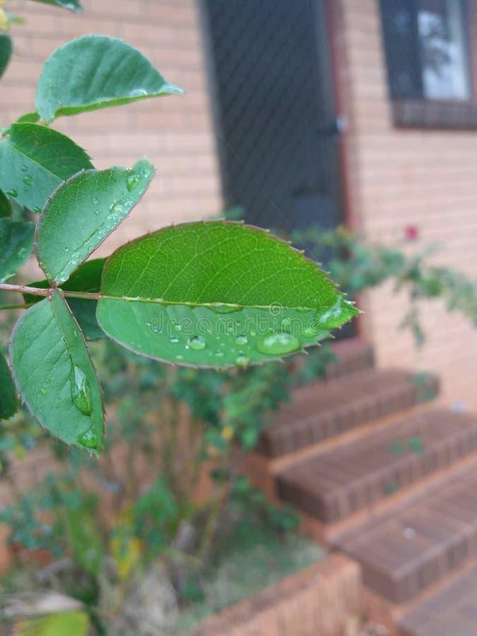 Пузыри на зеленых листьях стоковая фотография rf