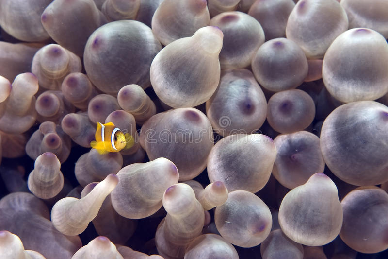 пузырь anemonefish ветреницы стоковые фотографии rf