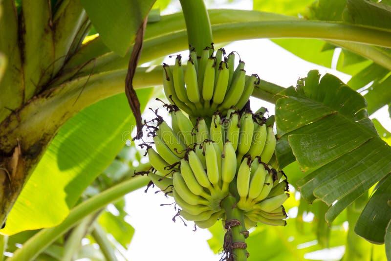 Пуки банана стоковое фото rf