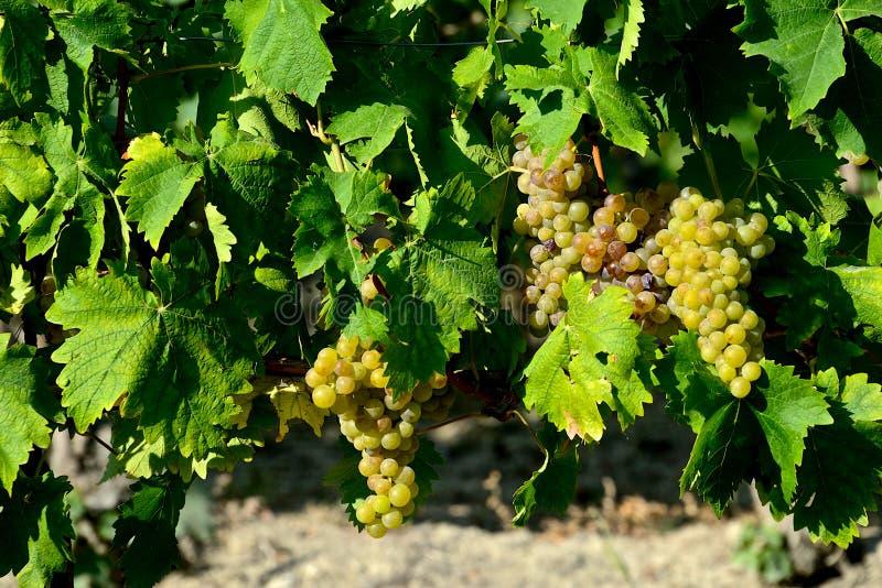 Пуки белых виноградин с листьями стоковое изображение rf