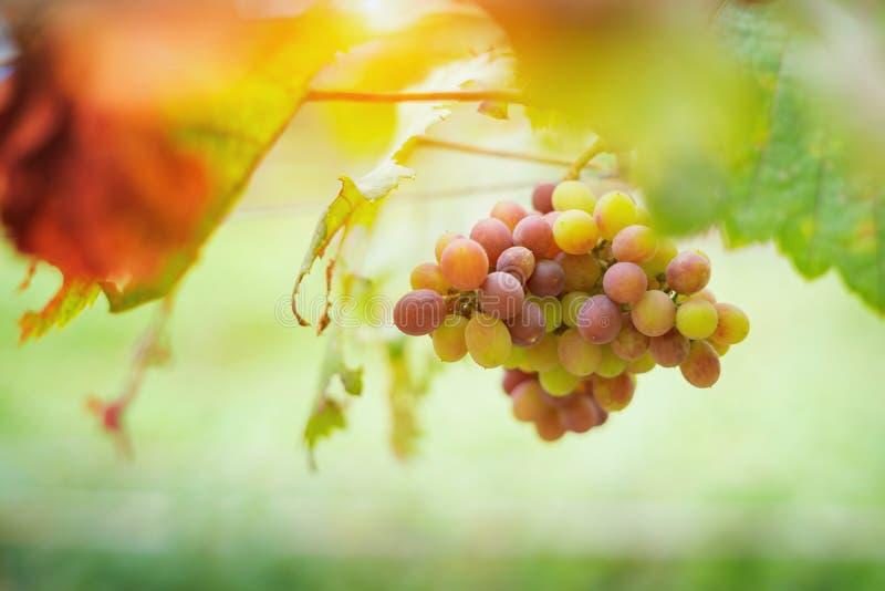 Пуки виноградин красного вина растя в итальянских полях конец вверх стоковая фотография