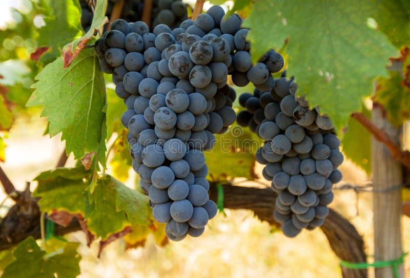 Пуки зрелых виноградин перед сбором стоковая фотография