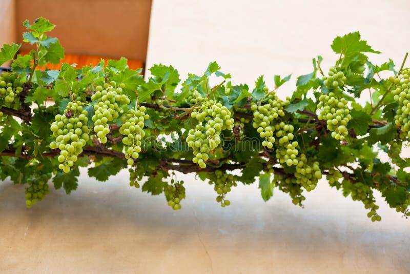 Пуки зрелых виноградин над стеной сельский дом стоковое фото rf