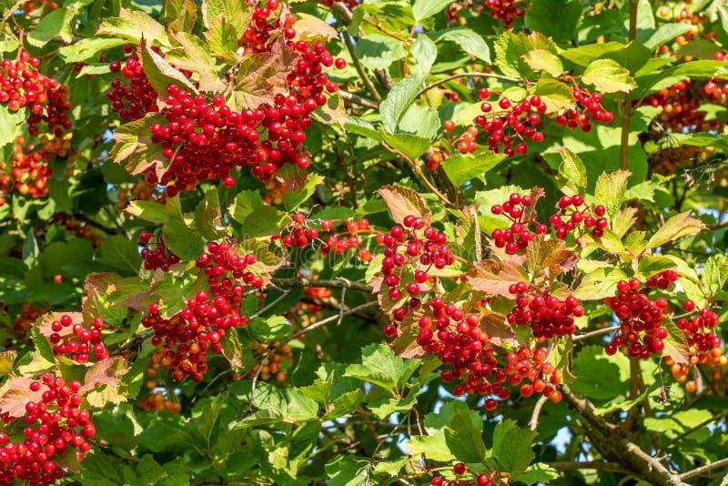 Пуки красных ягод розы Guelder стоковая фотография
