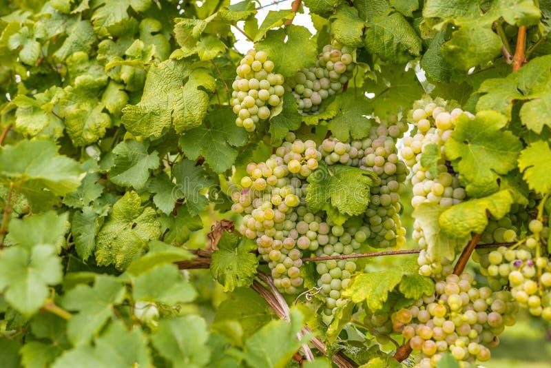 Пуки незрелых виноградин стоковые изображения