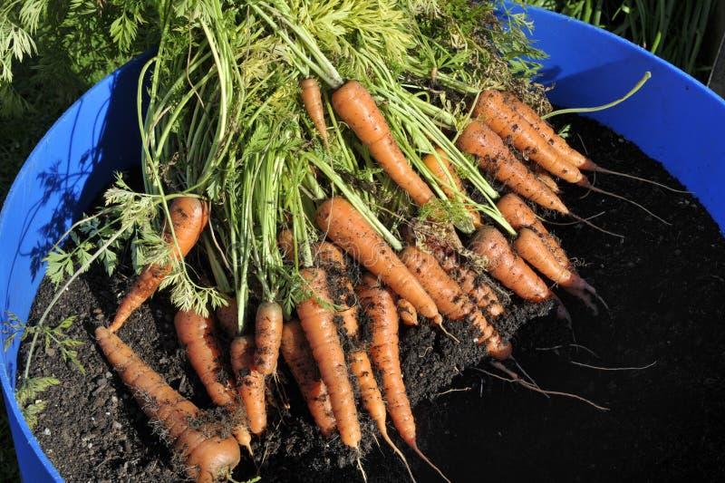 Пуки свеже выбранных и помытых морковей стоковая фотография rf
