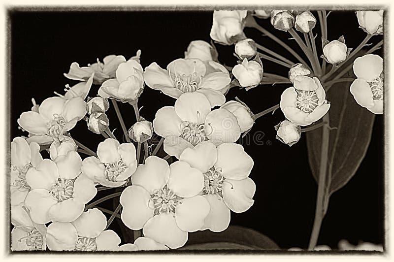 Пуки чувствительных цветков Яблока весны стоковая фотография