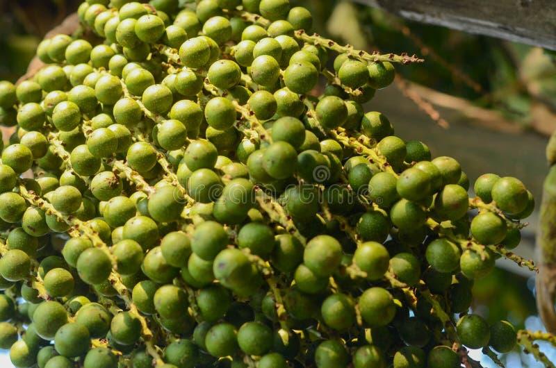 Пуки Fishtail ладони, ладони бородавочки Fishtail, связанной Fishtail пальмы в природном парке стоковая фотография