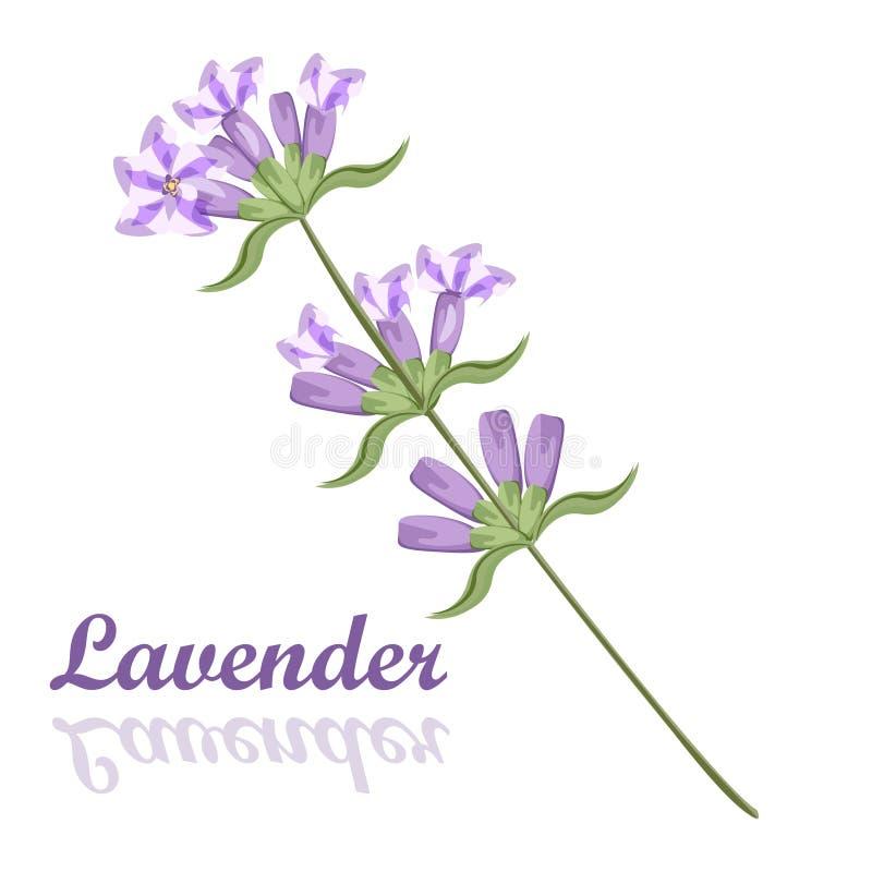 Пук лаванды цветет цветене фиолетового сада цветения ароматичное иллюстрация штока