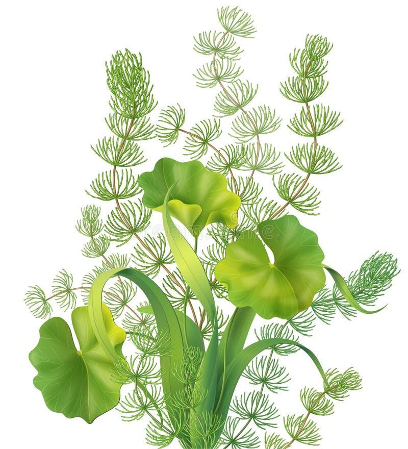 Пук аквариумных растени иллюстрация вектора