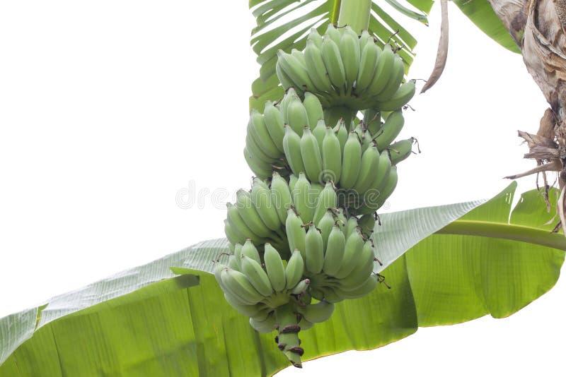 Пук банана на дереве изолированном на белой предпосылке стоковые изображения