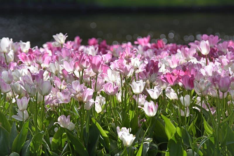 Пук белых и розовых тюльпанов в голландской сельской местности природы стоковые изображения