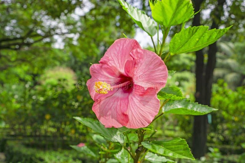 Пук больших розовых лепестков гавайских гибискусов цветет крышка вокруг желтой длинных тычинки и pistil, известных как цветок бот стоковое фото