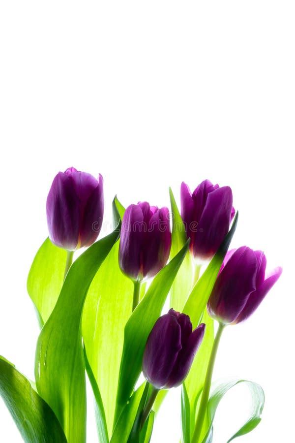 Пук букета красивых пурпурных фиолетовых тюльпанов изолированных на белой предпосылке с освещает контржурным светом стоковое изображение