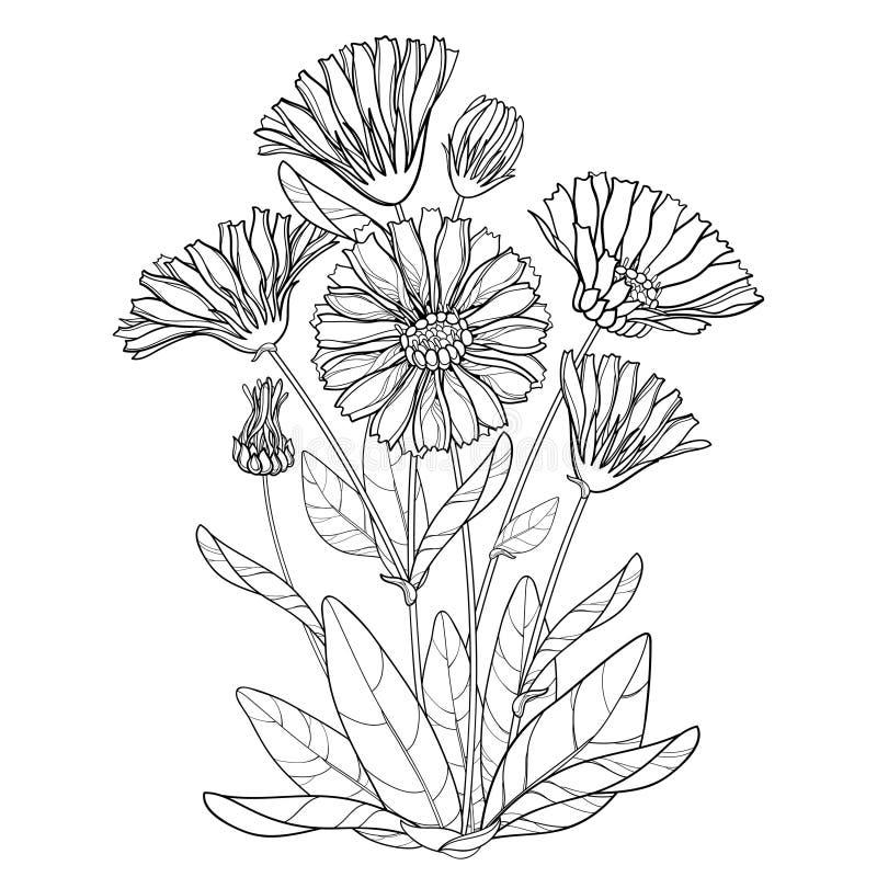 Пук вектора с officinalis Calendula плана или ноготк бака, бутоном, лист и цветком в черноте изолированными на белой предпосылке иллюстрация вектора