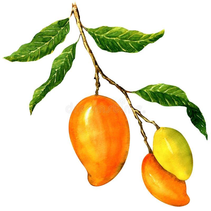Пук желтых манго, изолированный на белизне иллюстрация штока