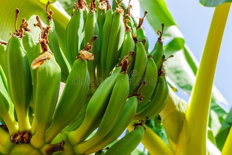 Пук зеленых бананов на дереве стоковая фотография rf