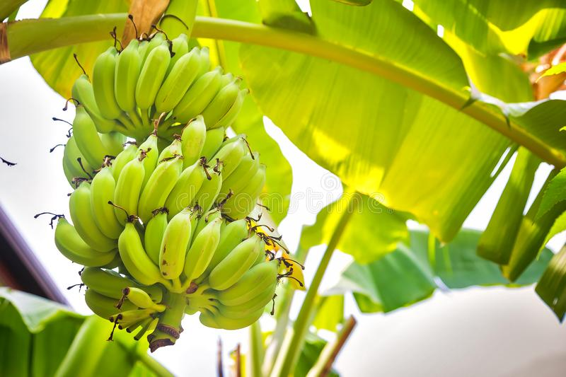 Пук зеленых бананов растя на пальме стоковое изображение