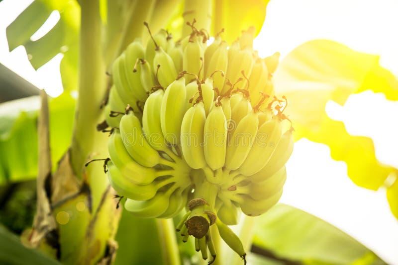 Пук зеленых бананов растя на пальме стоковая фотография rf