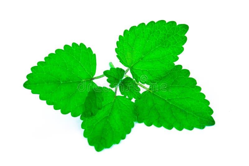 Пук зеленых листьев мяты стоковая фотография