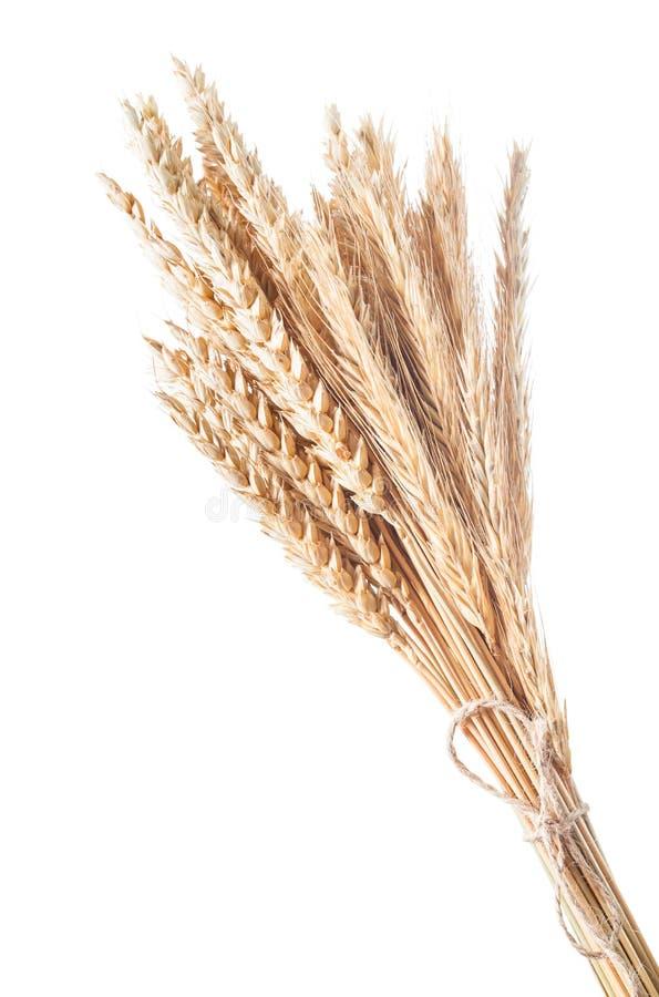 Пук золотых ушей пшеницы изолированных на белизне стоковое изображение rf