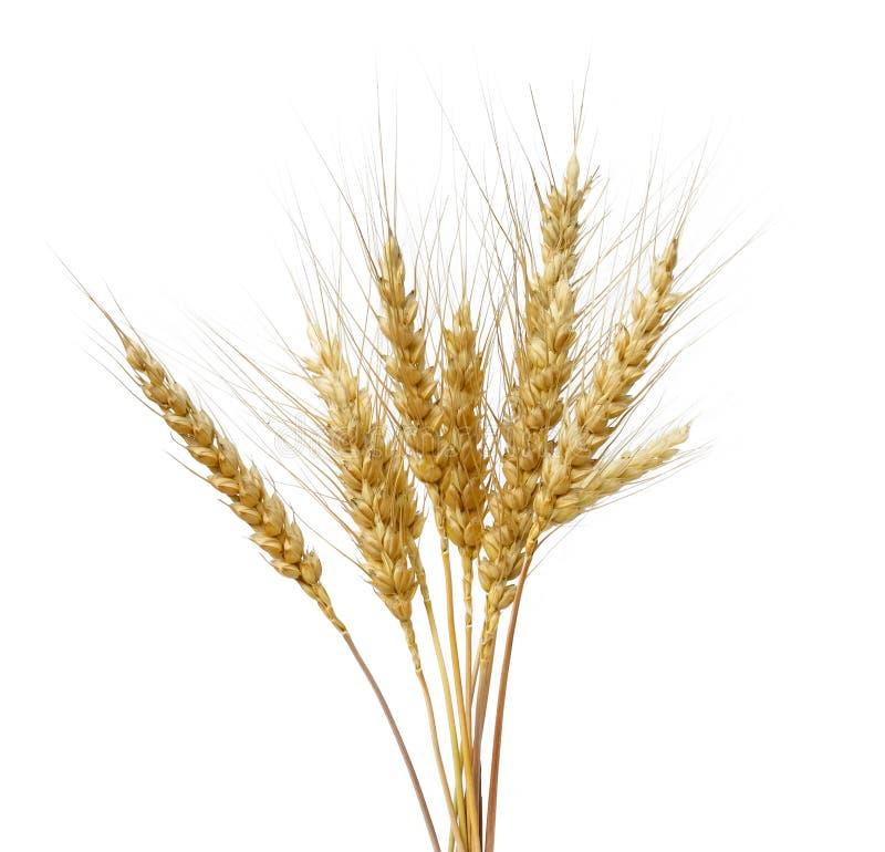 Пук золотых ушей пшеницы на белизне изолировал предпосылку стоковое изображение rf