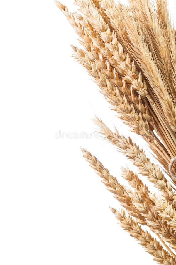 Пук золотых ушей пшениц-рож изолированных на белизне стоковое фото rf