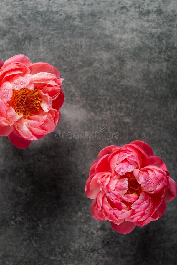 Пук изумлять розовые пионы на темной предпосылке стоковые изображения rf