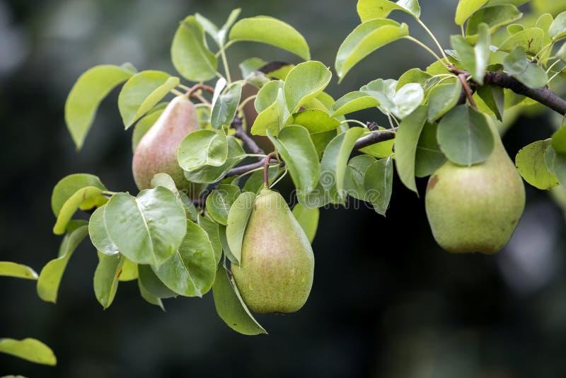 Пук конца-вверх красивых зеленых груш вися зреть на ветви дерева с листьями зеленого цвета осветил ярким солнцем лета на запачкан стоковые фотографии rf
