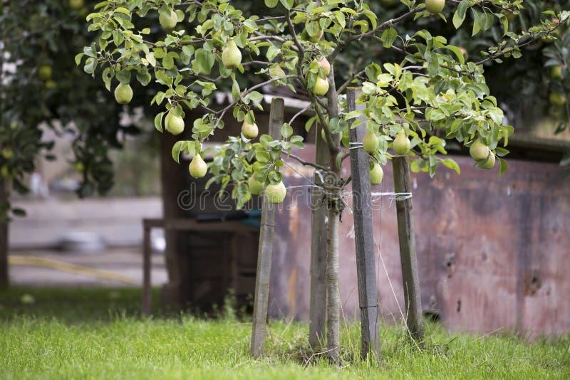 Пук конца-вверх красивых зеленых груш вися зреть на дереве стоковая фотография