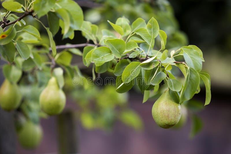 Пук конца-вверх красивых зеленых груш вися зреть на дереве стоковое изображение