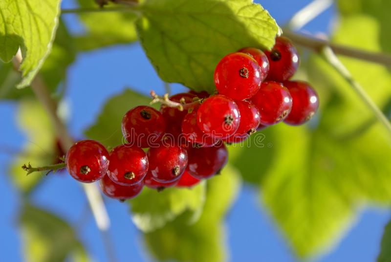 Пук красных смородин на ветви с rubrum смородины конца-вверх листьев стоковая фотография rf