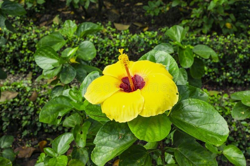 Пук лепестков свиньи гавайской крышки гибискуса вокруг длинных тычинки и pistil, известных в другом имени цветок ботинка, китаец  стоковые изображения rf