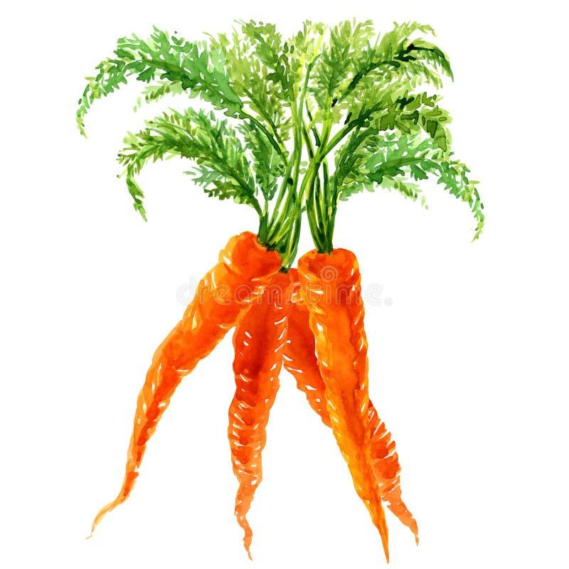 Пук морковей при изолированные листья иллюстрация штока