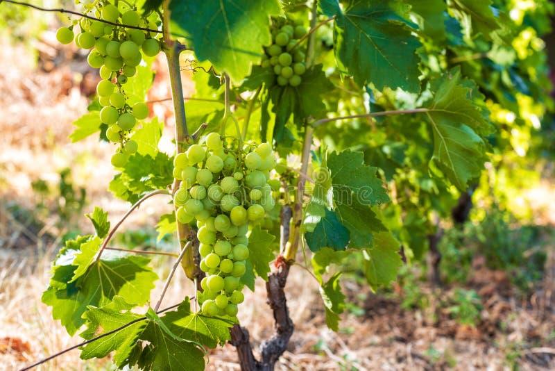 Пук незрелых виноградин на лозе стоковое изображение
