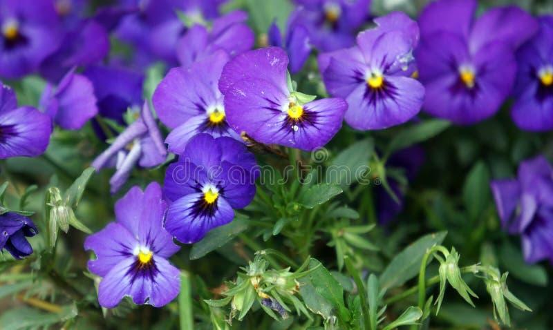 Пук пурпурных маргариток стоковые изображения
