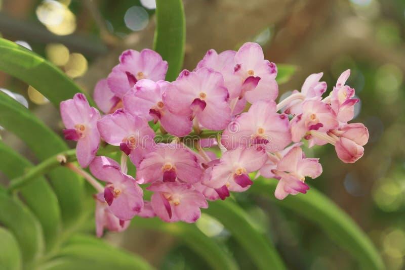 Пук розового цветка орхидеи Ascocentrum, фокуса помадки тонизированного и мягкого стоковые фото