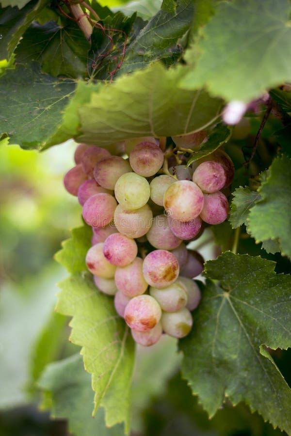 Пук розовых виноградин в саде стоковое фото rf