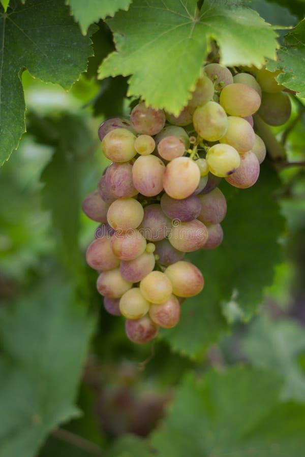 Пук розовых виноградин в саде стоковые изображения rf